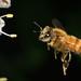 Honey Bee -11 - NIKON D5100 - 50.0 mm f-1.4