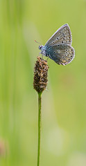 Papillon :  azur commun / Butterfly : Common Blue (Polyommatus icarus) (bEOSien87) Tags: macro nature grass animal canon butterfly insect french eos wildlife sigma papillon franais insecte herbe extender commonblue polyommatusicarus kenko sigma105mm 550d sigma105mmf28exdg kenko14 azurcommun rebelt2i kissx4 kenkopro300dgx