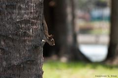 Peek-a-boo (skippys1229) Tags: park tree animal canon rebel squirrel peekaboo wildlife ocala marioncounty marioncountyflorida ocalafl ocalaflorida downtownocala tuscawillapark rebelt1i t1i canonrebelt1i ourdailychallenge odc3