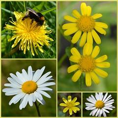 Yellow & White & Wild (Eleanor (No multiple invites please)) Tags: collage wildflowers welshharp fantasticnature worldofflowers addictedtoflowers natureskingdom anaturecanvas aboutthenaturewithlove brigettesbeautifulnaturegallery