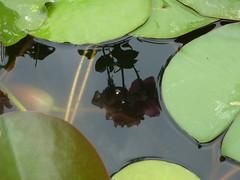 le rose si specchiano nello stagno (solonanda non c' pi) Tags: acqua riflessi stagno thegalaxy artistoftheyearlevel2 musictomyeyeslevel1