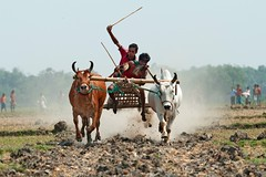 Bullock Cart Race (Taste_of_Cherry) Tags: game race rural cow village bullock action jockey cart tradition rider bangladesh jessore visipix