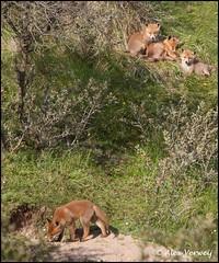 vossenburcht met jonge vossen (Alex Verweij) Tags: wild nature canon puppy pups puppies 4 natuur 7d lui pup duinen vier 2012 vos spelen reinier jongen 200mm burcht welpen vossen welp vossenburcht vossenjong duinroos 17mei alexverweij 17mei2012