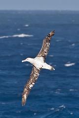 010001-IMG_2413 Wandering Albatross (Diomedea exulans ?) (ajmatthehiddenhouse) Tags: bird 2012 wanderingalbatross diomedeaexulans diomedea exulans wpo2012
