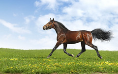 hanoverian horse trots - realistic photomontage (Pony Ninja) Tags: blue summer sky horse cloud color green nature field grass animal outside bay meadow pasture chestnut equestrian trot stallion equine steppe active pedigree trotter gait hanoverian