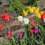 Tulips Variety thumbnail
