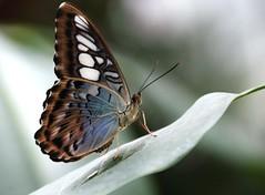 687e sentinel. ** Explore ** (jjjj56cp) Tags: butterfly insect 2012butterflyshow krohnconservatory blueclipper ringexcellence allofnatureswildlifelevel1 flickrsfinestimages1 jennypansing mariposa farfalle schmetterling closeup posing profile blue brown explored explore