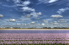 """Hyacinthen in Holland • <a style=""""font-size:0.8em;"""" href=""""http://www.flickr.com/photos/45090765@N05/7257169786/"""" target=""""_blank"""">View on Flickr</a>"""