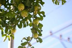 Limes, Holguin (PRDH) Tags: sky green cuba bliss limes holguin