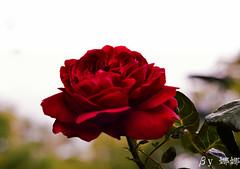 Flower (娜 娜☂Nana) Tags: roses plant love nature beautiful rose nikon colorful bokeh taiwan lovely 台灣 i bokehlicious 我愛台灣 flowersbokeh d7000 mygearandme