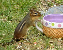 Anticipation - What's Inside The Goodie Cup Today? (ChicaD58) Tags: nature garden outdoors rodent spring corn backyard critter treats peanuts chipmunk hungry snacks anticipation sunflowerseed photosandcalendar thegoodiebowl