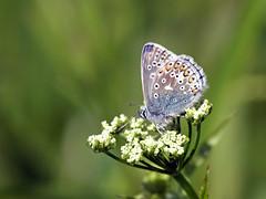 Common Blue (Mr Grimesdale) Tags: commonblue stevewallace britishbutterflies mrgrimesdale elitebugs