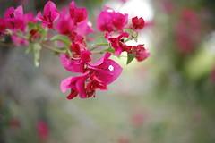 Flower (llambert86) Tags: flowers bokeh bougainvillea niftyfifty