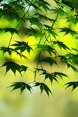 Japanese maple leaves in spring (♥ Spice (^_^)) Tags: color macro green leaves canon geotagged photography eos photo spring flickr image bokeh may picture 7d 日本 緑 litrato 2012 dahon larawan 春 写真 japanesemapleleaves 栃木県 葉っぱ tochigiprefecture カエデの葉 キャノン マクロ ボケ カラー gettyimagesjapan12q2