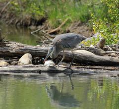 Great Blue Heron (K Fletcher) Tags: blue canada calgary bird heron great alberta inglewood