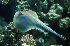 Bluespotted Stingray (Gatria) Tags: red sea 3 fish canon meer ray underwater stingray mark iii egypt free diving zee el 100mm snorkeling gouna l 5d 28 reef ef mk rode riff rotes unterwasser onderwater bluespotted ikelite