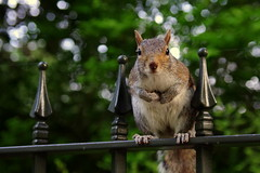 20/52 - Visit @ LSHTM - (marcoaj) Tags: park uk england london nature look animal fence eyes squirrel bokeh expression hydepark marcoajelli ajelli