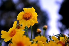 yellow moments ...when feeling blue, just smile to small beautiful things... and (dimitra_milaiou) Tags: world life flowers trees light wild sky green love nature smile yellow daisies greek spring nikon europe day colours bokeh earth small hellas happiness greece planet daisy nafplio nauplio dimitra nauplion d90       milaiou