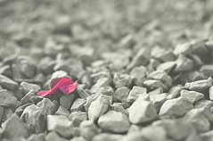 A Promise. (kaniths) Tags: pink light flower color macro colors monochrome rock closeup lost hope spring colorful dubai dof bokeh faith naturallight pebbles minimal forgotten fallen pinkflower lonely greetings minimalism promise breastcancerawareness minimalistic mnml lowangle thinkpink summerlove photoproject selectivecoloring bogunvilla nikon5100 pinkforoctober project52 idof nikon35mmf18g p52week4 dpfolio supportforacause