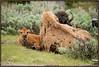 Bison (Gary P Kurns Photography) Tags: california trip nikon flickr sigma top20nature yellowstone bison 2012 onone d800 150500 sigma150500 californiatrip2012