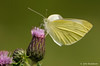 Large white (John Beukeboom) Tags: holland macro nature netherlands butterfly insect nikon wildlife thistle ngc nederland natuur 300mm npc soe vlinder autofocus largewhite pierisbrassicae coth witje thegalaxy grootkoolwitje d3s coth5 mygearandme mygearandmepremium mygearandmebronze mygearandmesilver mygearandmegold mygearandmeplatinum mygearandmediamond flickrstruereflection1 flickrstruereflection2 flickrstruereflection3 flickrstruereflection4 flickrstruereflection5 flickrstruereflection6 flickrstruereflection7 flickrstruereflectionexcellenceaward johnbeukeboom flickrstruereflectionexcellence sunrays5 flickrstruereflectionlevel8