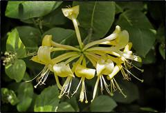 Honeysuckle_6174349_Snapseed-web (David Norfolk) Tags: macro olympus ep3 35mmfourthirdsmacro