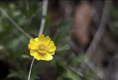 Petite Yellow Flower (Joshuaww) Tags: california park flowers trees white black monument grass yellow pine forest photography squirrel squirrels cone joshua ground photographs national photograph elisabeth pinnacles hogs groundhogs pinus sabiniana joshuaww