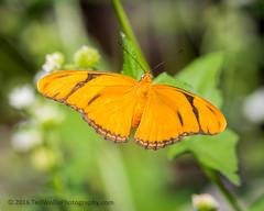 B36C5309 (WolfeMcKeel) Tags: vacation lake butterfly keys spring key julia florida wildlife butterflies national crocodile largo refuge nwr 2016 floridakeys2016vacationspring