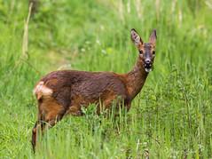 Roe Deer (nathian brook) Tags: deer pottericcarr yorkshirewildlifetrust ukwildlife