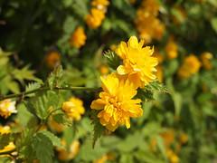 Kerria (gripspix (OFF)) Tags: plant flower nature blossom natur pflanze shrub blume blte kerrie busch kerriajaponica keriia 20160523 foolingwithmycam kameranarrheiten