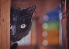 Jack is a little shy (Karin Lewis (Bookatz)) Tags: black nature blackcat shy domestic peeking bokah homescene