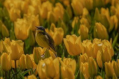 Gele kwikstaart (Chantal van Breugel) Tags: noordoostpolder flevoland tulpen boerderij gele canon70300 tulpenveld kwikstaart espel canon50d landschapvogels