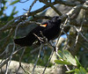 Redwing Black Bird (Mike Woodfin) Tags: color tree bird nature birds contrast photoshop canon photography photo wings nikon pretty branch fuji florida photos country wing beak picture photograph aviary fl fowl blackbird redwing beaks redwingblackbird mikewoodfin mikewoodfinphotography
