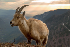 Easy Going Ibex Enjoying Sunrise - Creux-du-Van - Switzerland (Rogg4n) Tags: morning wild sky sun mountain nature animal rock alpes sunrise landscape schweiz switzerland spring suisse wildlife hill jura horn paysage neuchâtel ibex bouquetin valdetravers creuxduvan goldenhours steingeiss canoneos100d efs18135mmf3556isstm