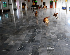 ,, The Chase ,, (Jon in Thailand) Tags: dog playing motion dogs tile pumpkin thailand nikon asia legs buddha rocky running mama jungle nikkor chasing k9 tilefloor d300 happydogs decayingbuilding 175528 littledoglaughedstories thedogpalace
