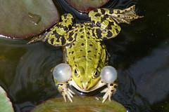 DSC09809 (Christine Gerhardt) Tags: deutschland zoo stuttgart frosch wilhelma tierfoto