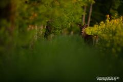 Doux velours (Vianney Vaubourg) Tags: nature by jaune soleil nikon photographie bokeh lumire vert 400 fl mm nikkor lorraine printemps f28 vr fort vosges bois herbe couch cerf sauvage colza 2016 vianney velours cervid animalier 400f28 d3s vaubourg naturebynikon