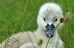 Cygnet (Olive Taylor. Thank you for your visit.) Tags: water birds wildlife swans ponds cygnets muteswan beaks