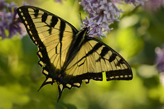 Swallowtail Butterfly (Lindaw9) Tags: trees light macro butterfly colours foliage swallowtail lilacs