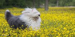 Happy Running (GdeB fotografeert) Tags: gdebfotografeert mei2016 rhea oes oldenglishsheepdogs hettwiske buttercups boterbloemen oostzaan rheaenlisa flickrexplored