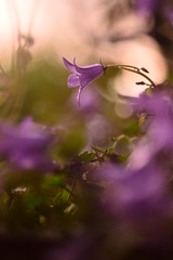 (Leela Channer) Tags: sunset france nature rain closeup golden purple bokeh goldenhour