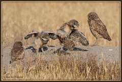 Wing Testing 9436 (maguire33@verizon.net) Tags: california bird us unitedstates wildlife siblings owl chino burrowingowl owlet