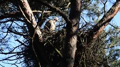 Juvenile Buzzard Movie (Erik de Klerck) Tags: tree bird movie nikon nest young scream sound buzzard juvenile birdofprey jong d800 buizerd 300mmf4 commonbuzzard juvenilebuzzard