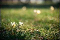 f_MBC_1048 (BM-Licht) Tags: germany bayern deutschland bavaria nikon pflanze blumen garten krokus penzberg d700