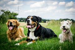 Tick, Trick und Track... (TS_1000) Tags: max track wilma huey hund louie trick dewey tick lotta hunde