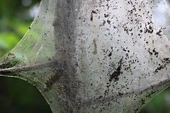 20160604152150_IMG_1328 (arielandrew) Tags: caterpillars nest web trees glenlyon woods eggs bugs nature pennsylvania canon eos 750d rebel t6i