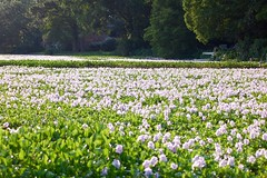 Flowery Carpet (turdpolisher) Tags: flowers nature outdoors lsu waterhyacinth lsulakes