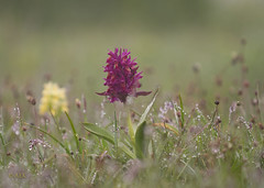 Dactylorhiza sambucina -Orchis sureau- (A. Eraso Keller) Tags: france vercors orchides
