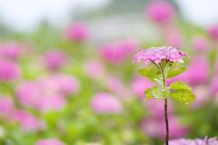 Wet Hydrangea (sim_limited) Tags: pink plant flower wet rain outdoor hydrangea downpour pentaxart pentaxflickraward pentaxawards pentaxkife