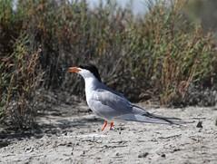 Forester Tern (Steve Huckabone) Tags: landing eden turk